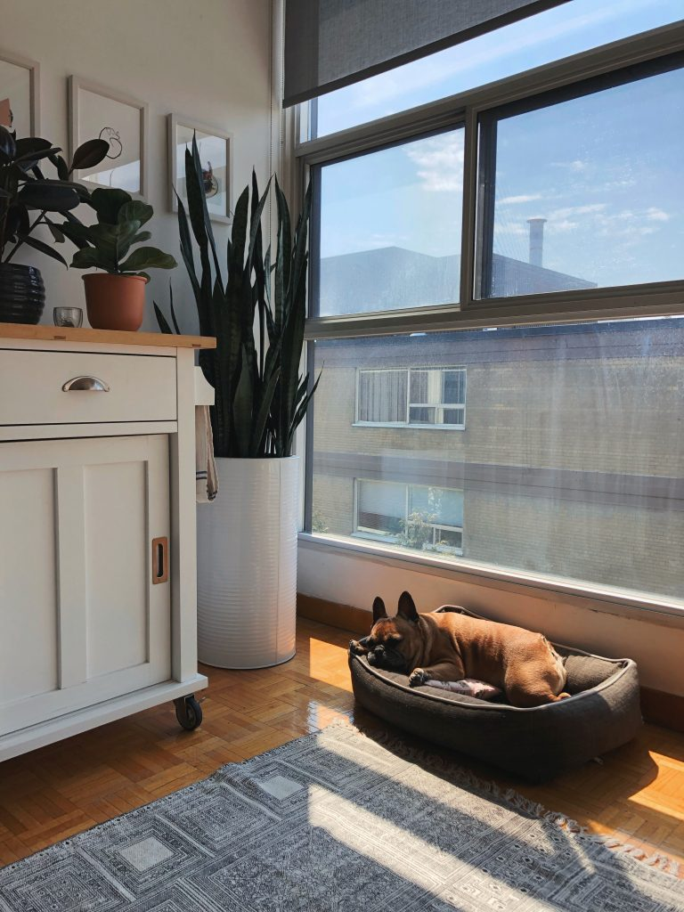 snake plant houseplants french bull dog sunlight cozy grey carpet
