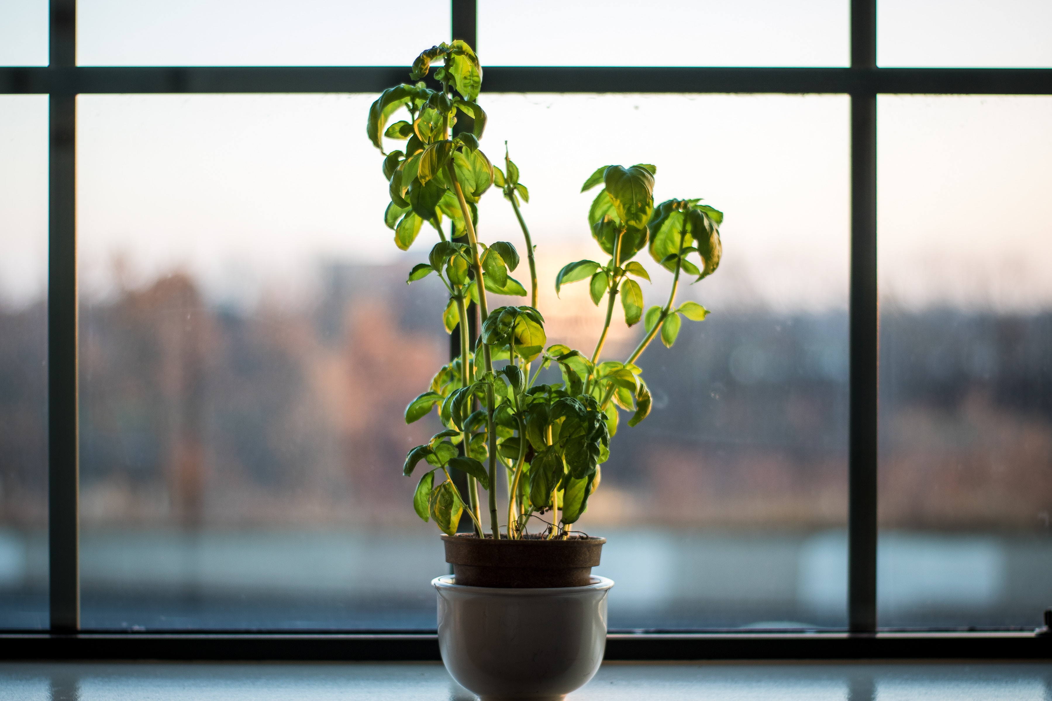 basil in grey pot with glass window city view