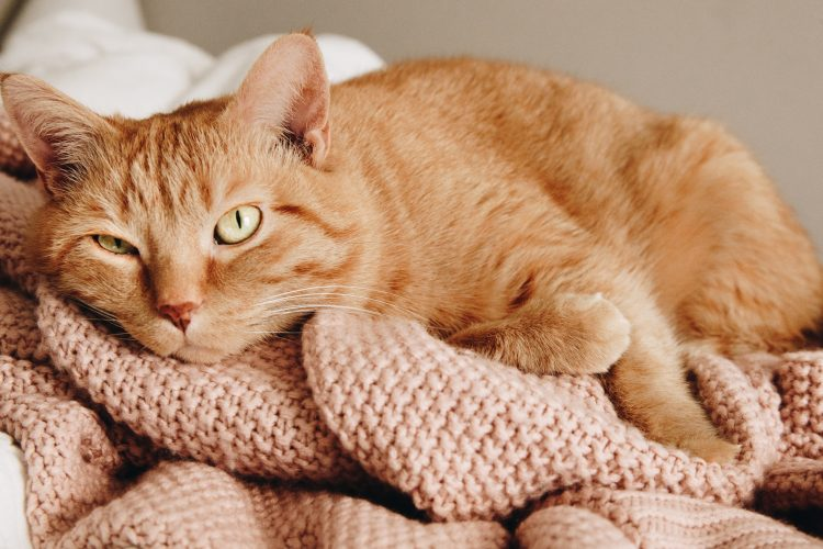cute orange cat pink rug