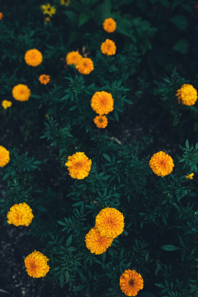 Marigold Flowers yellow dark green bushes