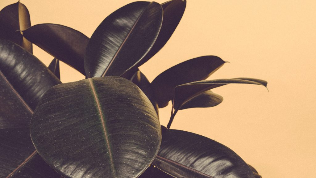 rubber plant with light yellow background