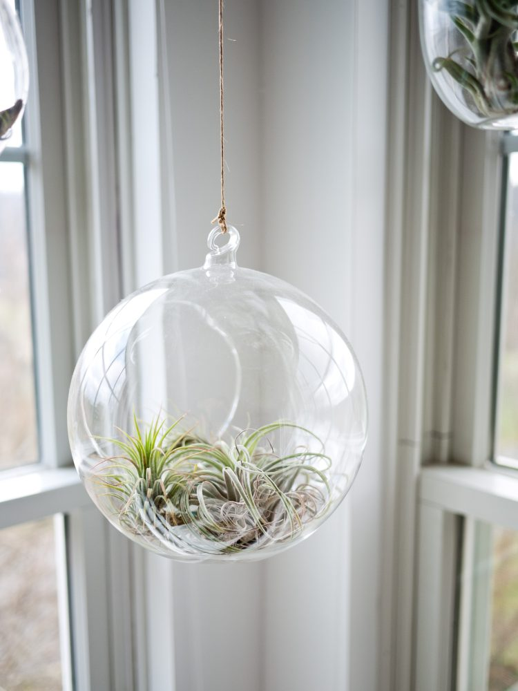 air plant glass hanging