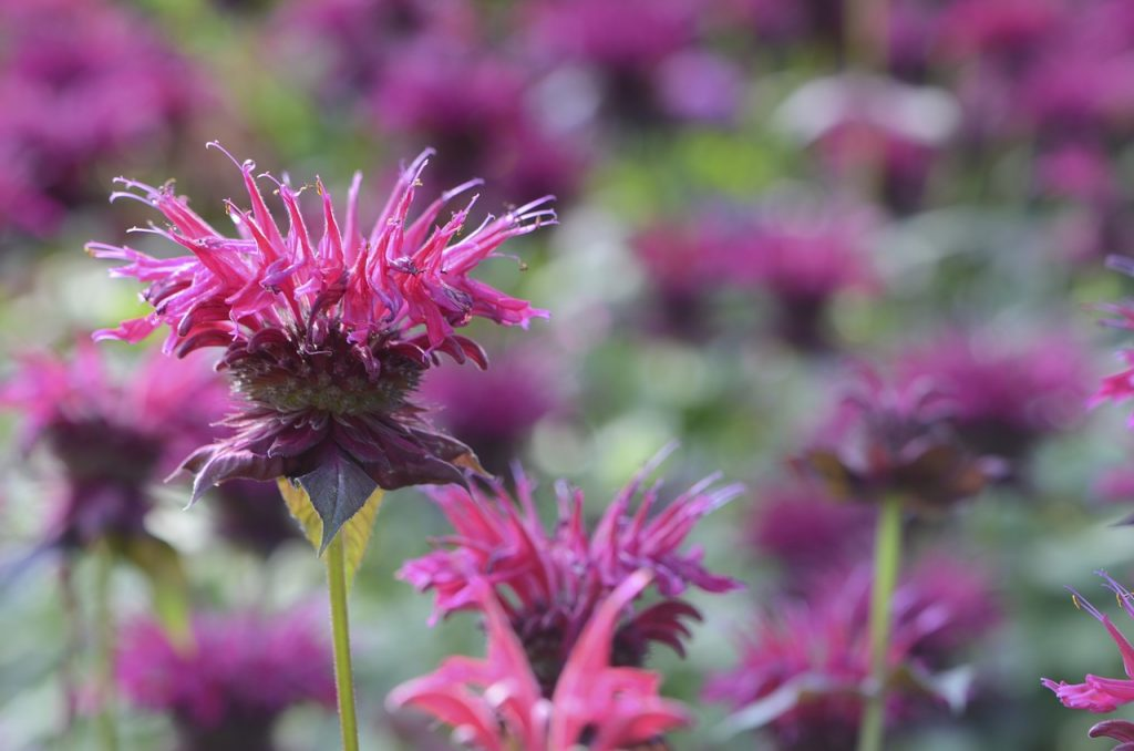 bee-balm-purple flowers