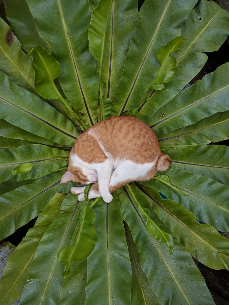 Bird's Nest Fern ORANGE CAT