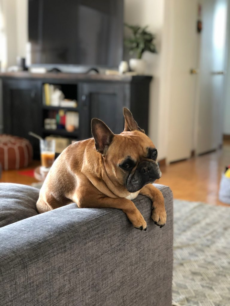 frenchie cute sofa living room