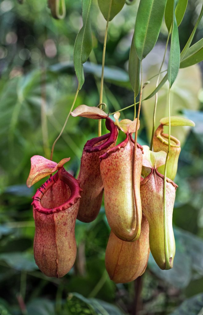 Pitcher plant yellow red plant