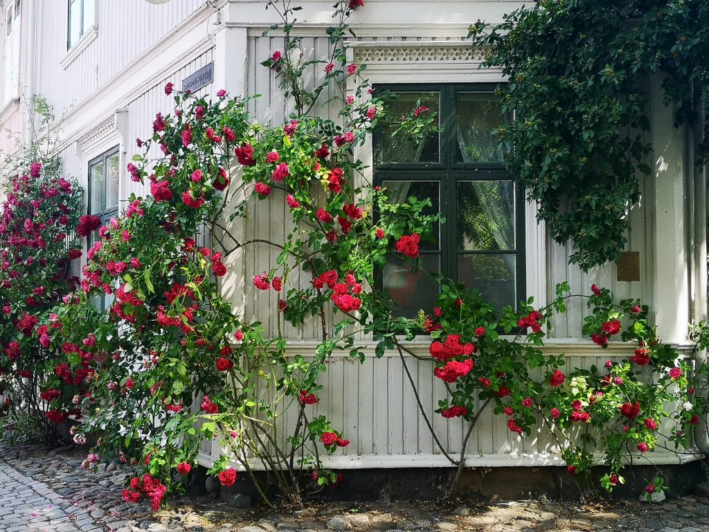 red rosese climbing on a white house