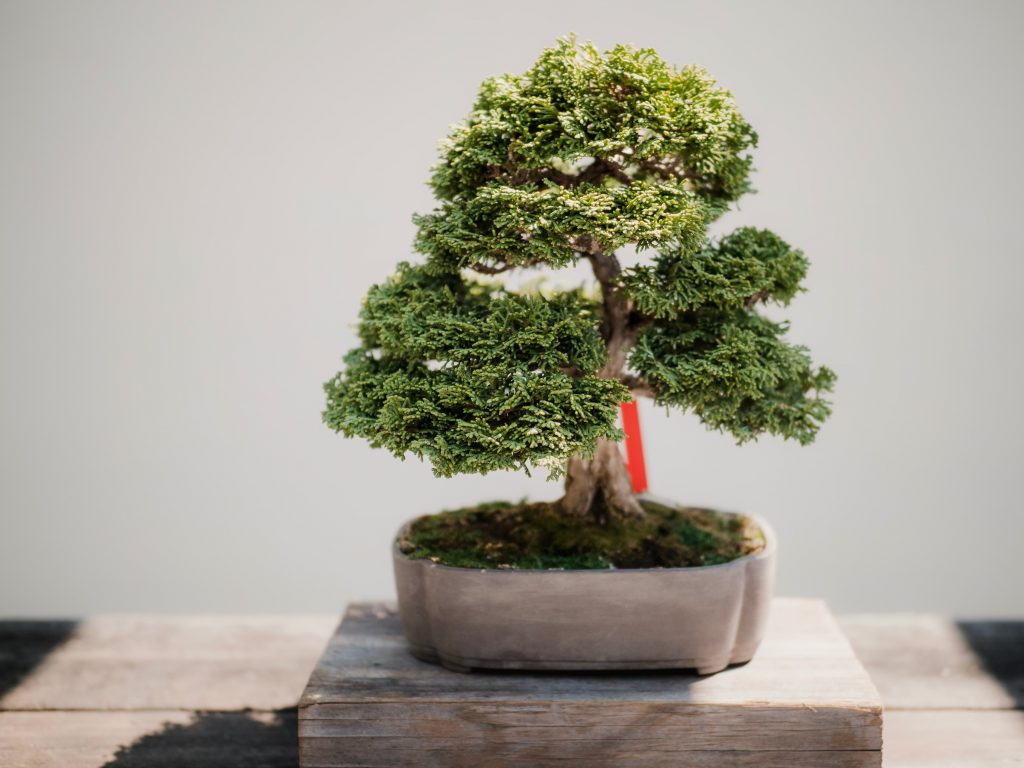 bonsai tree potted feng shui tips