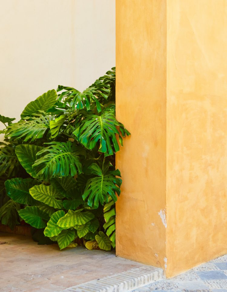 monstera bush behind yellow wall
