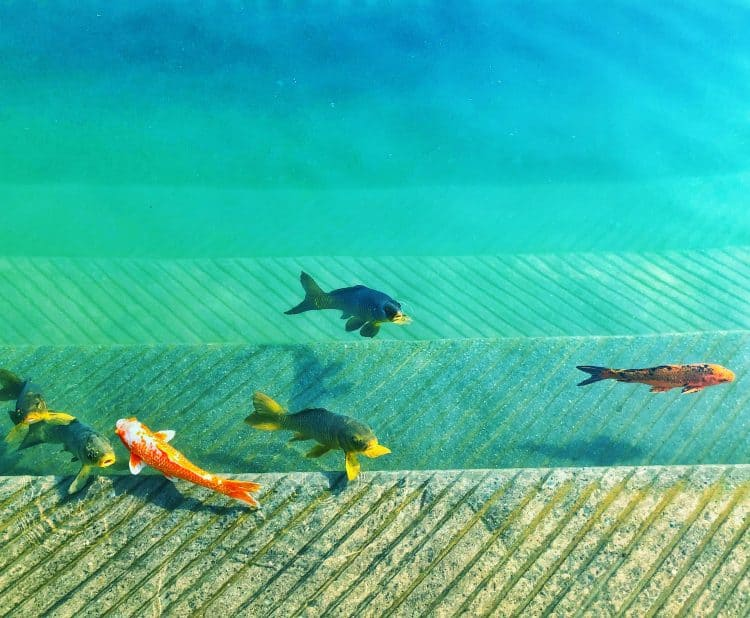 Koi Fish to boost your Feng Shui! Here is how