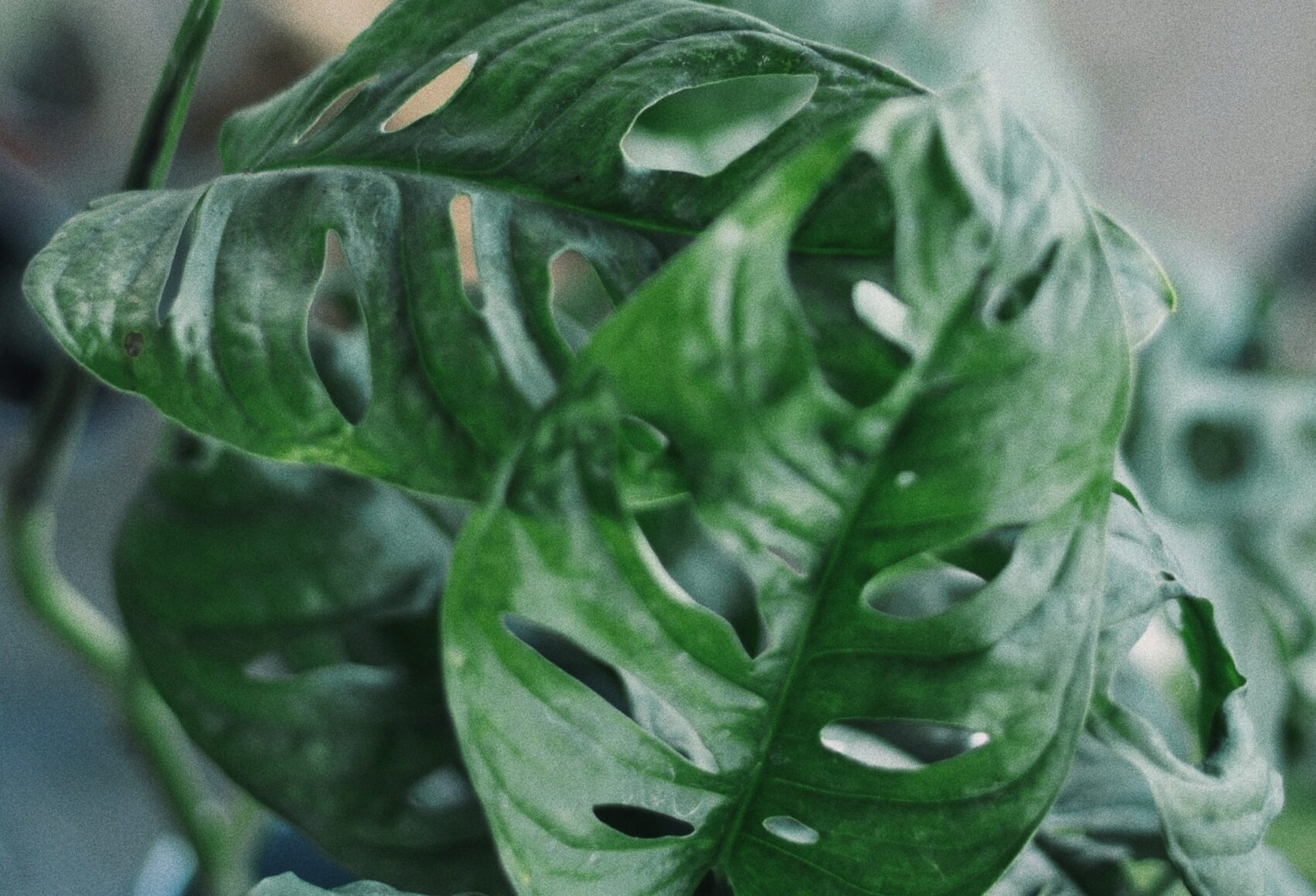 Are monstera plants really safe for your cats?